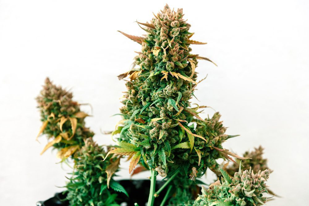 Image of a sativa strain.