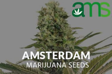 the amsterdam marijuana seed bank
