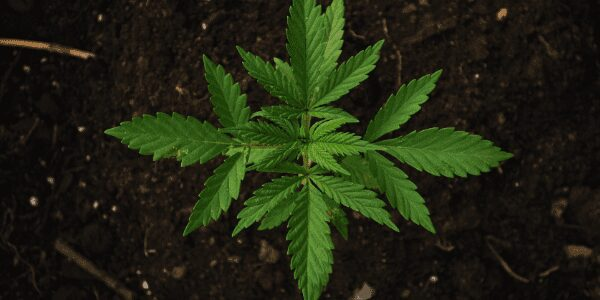 Grow-weed-plant